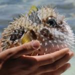pesce palla parecchio irritato - by alessandro guerrini