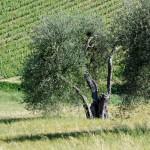 campagna toscana - by alessandro guerrini