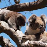 i koala di cape otway - foto di alessandro guerrini