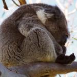 i koala di cape otway - by alessandro guerrini