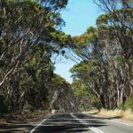giungla di eucalipti - foto di alessandro guerrini