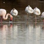 fenicotteri nel lago di peretola - foto di marco daffra